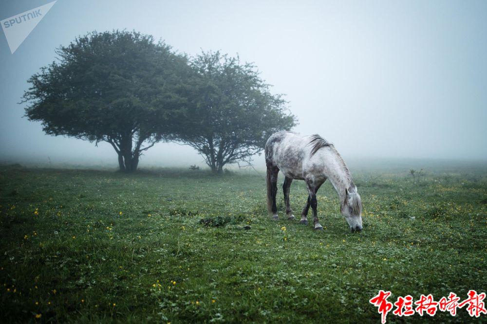 阿迪格共和国马伊科普斯基地区草甸上放牧的马。