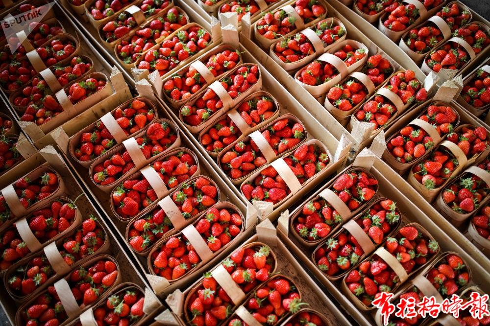 俄罗斯。克拉斯诺达尔州装满草莓的篮子。